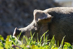 Pig in profile Royalty Free Stock Photography