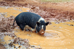 Pig in puddle Royalty Free Stock Photo