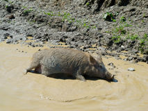Pig in a puddle Royalty Free Stock Images