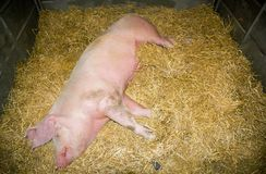 Pig put to sleep on the straw Stock Image