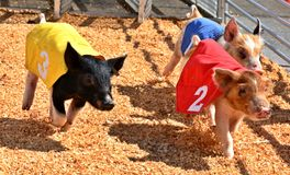 Pig Racing, Oklahoma State iFair, Oklahoma City. In Oklahoma City, Oklahoma. Piglets wear numbered capes and run around a small track, the winner gets a cookie stock image