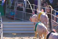 Pig racing at Royal Adelaide Show. Adelaide, Australia - September 7, 2016: Pig racing is a popular event at the Royal Adelaide Show, held every September in Royalty Free Stock Photography