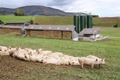 Pig raising Stock Photos