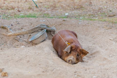 Pig raising on Don Det. Raising pig on Don Det island in south Laos. Life on four thousands islands Si Phan Don on Mekhong river in south east asia during summer stock photography