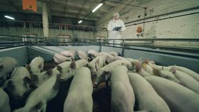 Pig-raising farm with a male worker inspecting piglets