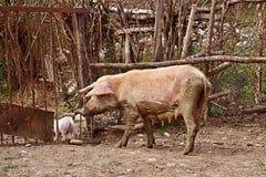 Pig reared in backyard,Georgia Stock Image