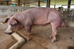 Pig. Red pig in a pigsty Stock Photography