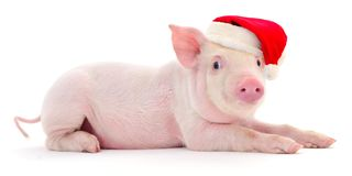 Pig in a red Santa Claus hat. royalty free stock photography