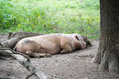 Pig Relaxing Royalty Free Stock Photo