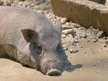 Pig Royalty Free Stock Images