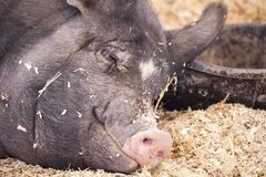Pig at Rest Royalty Free Stock Photos
