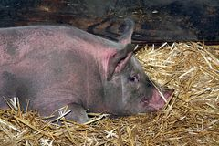Pig resting Royalty Free Stock Photo