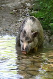 Pig in the river Royalty Free Stock Photography