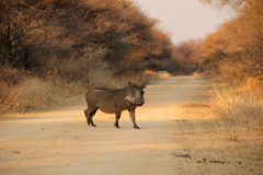 A pig on the road. A wild warthog on sandy road at gaborone reserve ,botswana Royalty Free Stock Image
