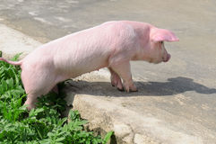 Pig on the road. Funny pig on the road stock photo