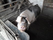 Pig from Romania. Ugly big pig from village in Romania, this pig have black spots Royalty Free Stock Image