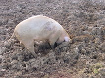 Pig. A pig is rooting around in its field. The ground is churned up and muddy. The pig is preoccupied and happy Stock Photos