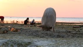 Pig rooting in sand on beach at low tide amongst seaweed farms Royalty Free Stock Photos