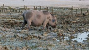 Pig rooting in sand on beach at low tide amongst seaweed farms Stock Images