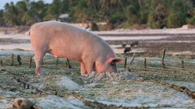 Pig rooting in sand on beach at low tide amongst seaweed farms stock video footage