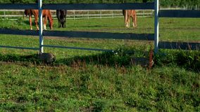 Pig running on green field at livestock farming. Pigs on farm. Sus scrofa stock video footage