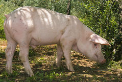 Pig on a rural background Royalty Free Stock Image