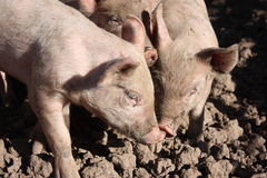 Pig's gossip Royalty Free Stock Photos