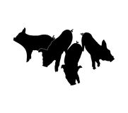 Pig's silhouettes. Four black Pig's silhouettes on white background. isolated Stock Photo