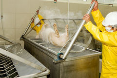 Pig Scalding Process In Slaughterhouse. Workers Removing A Pig Carcass From Scalding Tub Using Human Power Operation Meant To Soften The Animal Hair For Easier royalty free stock photography