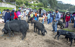 Pig sellers wait for customers at the Otavolo animal market in Ecuador in South America. Royalty Free Stock Image