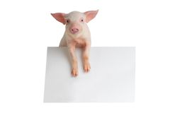 Pig. With sheet for a text writing royalty free stock photos