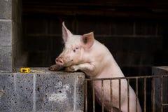 Pig Royalty Free Stock Photos