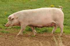 Pig. Side view of pig walking on field Royalty Free Stock Photo