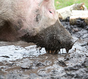 Pig sifting through puddle Stock Photos