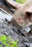 Pig sifting through puddle Stock Photography