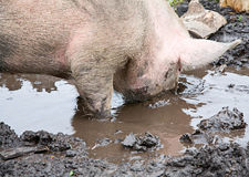 Pig sifting through puddle Royalty Free Stock Photos