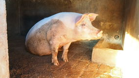Pig sit stable stock footage