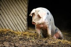 Pig sitting on the in front of a hut stock image