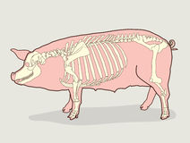 Pig Skeleton. Vector Illustration. Pig Skeleton Diagram.  Stock Photos