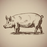 Pig in sketch style. Vector illustration livestock drawn by hand. Farm animals on gray background Royalty Free Stock Image