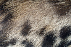 Pig Skin Hair Texture. Hairy pig skin texture close up with a blotchy brown, black and white pattern Royalty Free Stock Photo