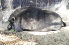 Pig sleep. Pig sleep in temple thailand Royalty Free Stock Photography