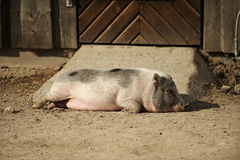 Pig sleeping in the afternoon sun. Pig sleeping on the ground Stock Image