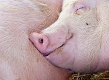 Pig sleeping in barn Stock Images