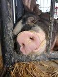Pig Sleeping at a County Fair, Pennsylvania, USA Royalty Free Stock Image