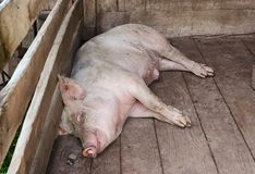 Pig sleeping in a pigpen Royalty Free Stock Photo