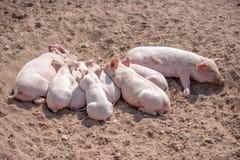 Pig sleeping Royalty Free Stock Photos