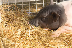 Pig sleeping in straw Royalty Free Stock Photography