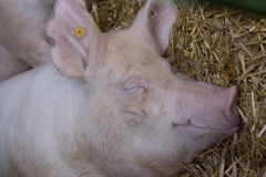 Pig sleeping on straw Stock Images