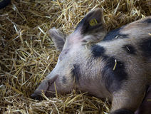 Pig sleeping on straw. Old traditional spotted pig sleeping on straw in the pen Stock Images